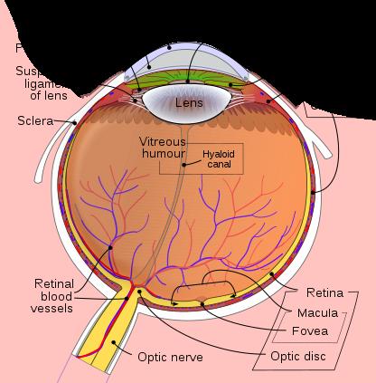 File:schematic Diagram Of The Human Eye En.svg